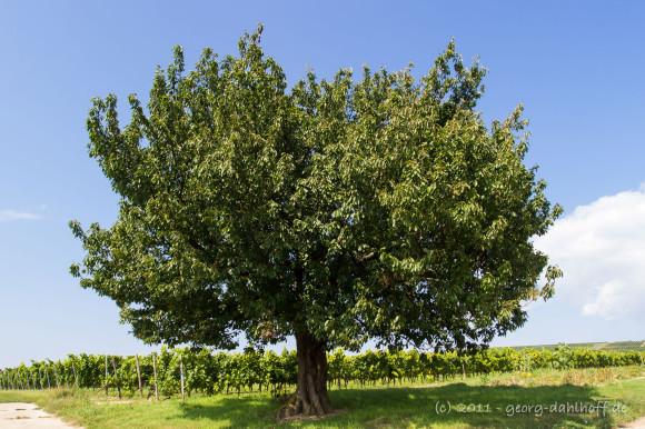 Kirschbaum im Sommer - Bild Nr. 201109022180