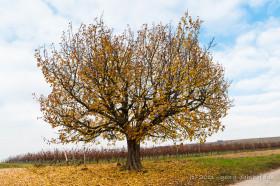 Kirschbaum im Herbst - Bild Nr. 201111113062
