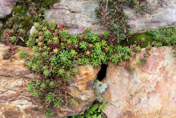 Steingewächse in Trockenmauern - Bild Nr. 201402162309
