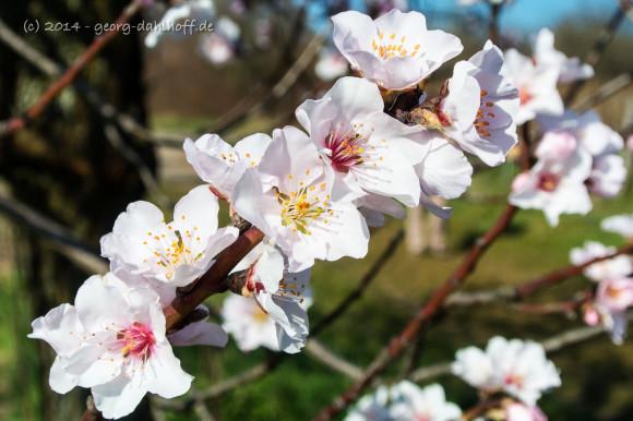 Mandelblüte - Bild Nr. 201403092464