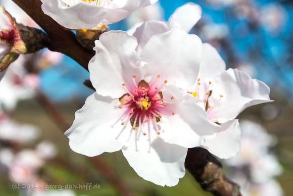 Mandelblüte - Bild Nr. 201403092467