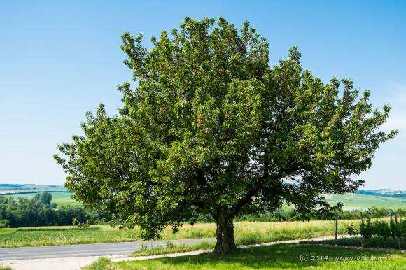 Kirschbaum im Sommer - Bild Nr. 201406080656
