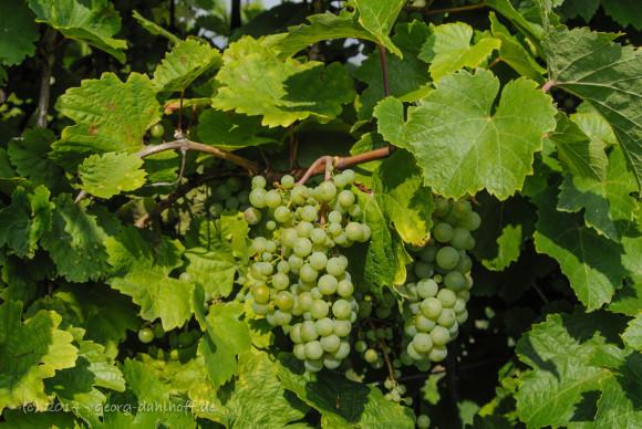 Weintrauben - Bild Nr. 201408173426