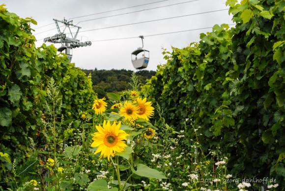 Sonnenblumen zwischen den Reben - Bild Nr. 201408173444