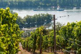 Blick vom Weinberg auf die Nordspitze der Rheininsel Kisselwörth - Bild Nr. 201508230827